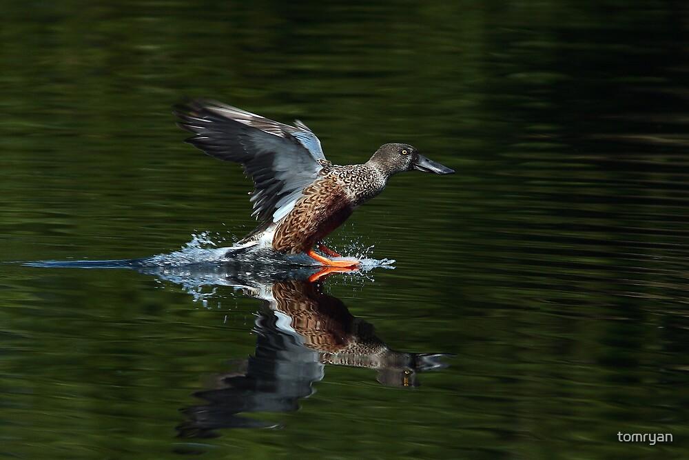 Male Shoveler Landing by tomryan