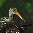 A Limpkin Ponders by Franklin Lindsey