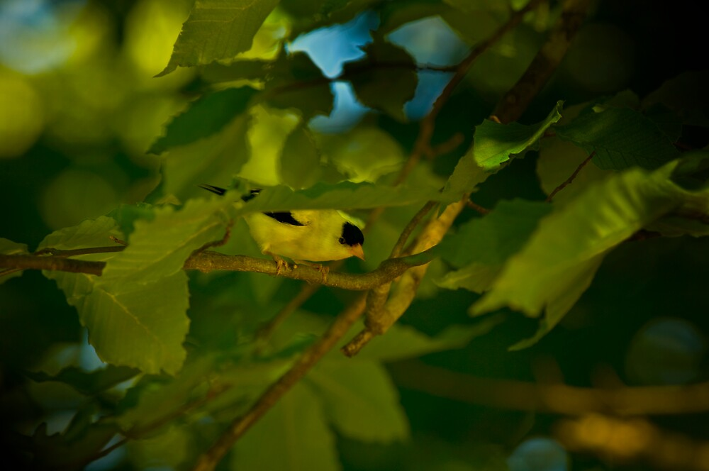 American Goldfinch by Michael Wolf