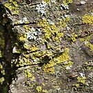 Bark with Lichen by Emily Meder