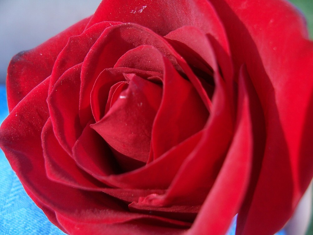Red Rose by heathernicole00