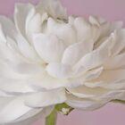 White Ranunculus Macro  by Sandra Foster
