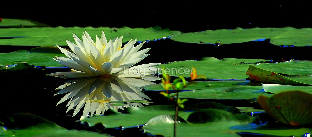 Lake Imonia Water Lily by Troy Spencer