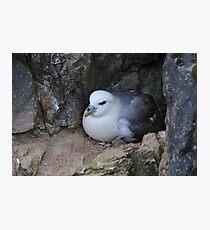 Fulmar Petrel, Shetland Photographic Print