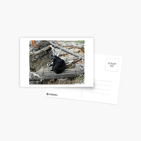 Black Bear on Log in Yellowstone National Park Postcard