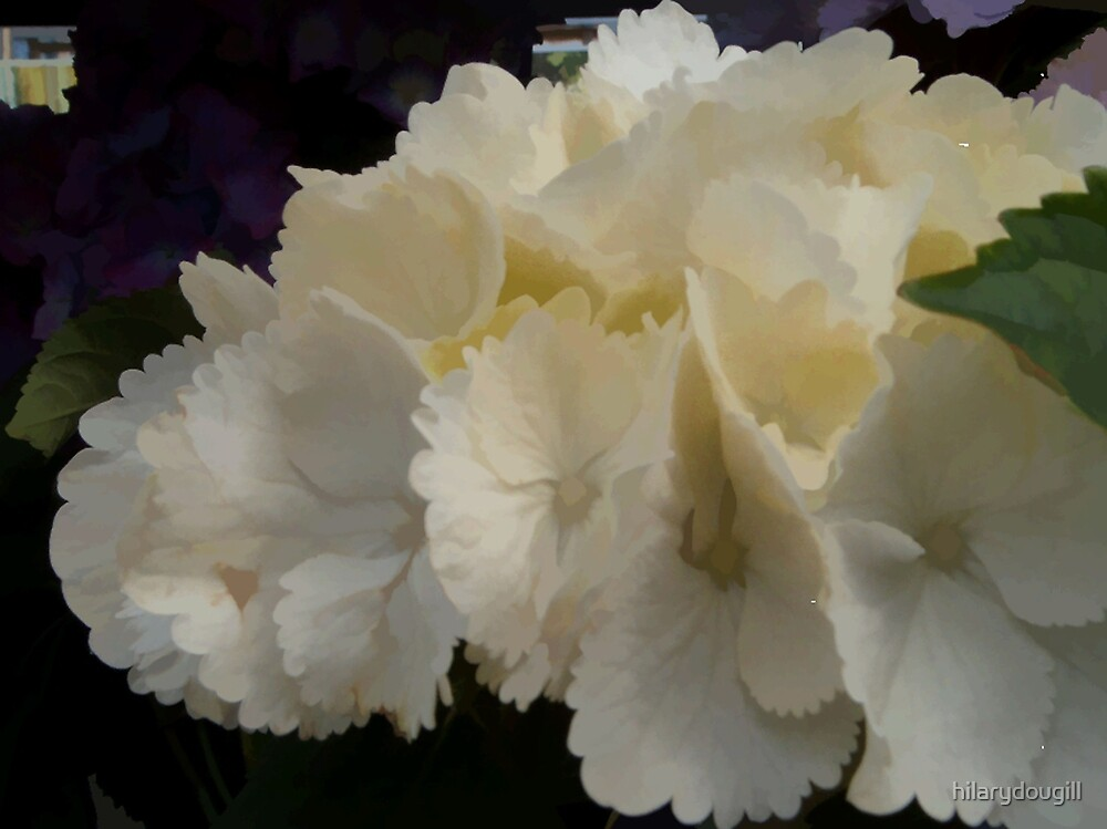 Abstract of White Hydrangea by hilarydougill