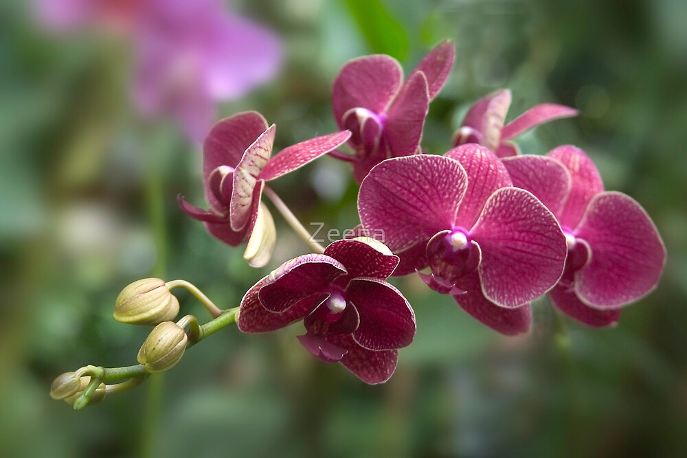 Orchids by Zeena