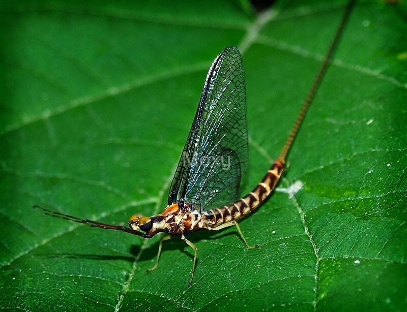 Mayfly Closeup by Moxy