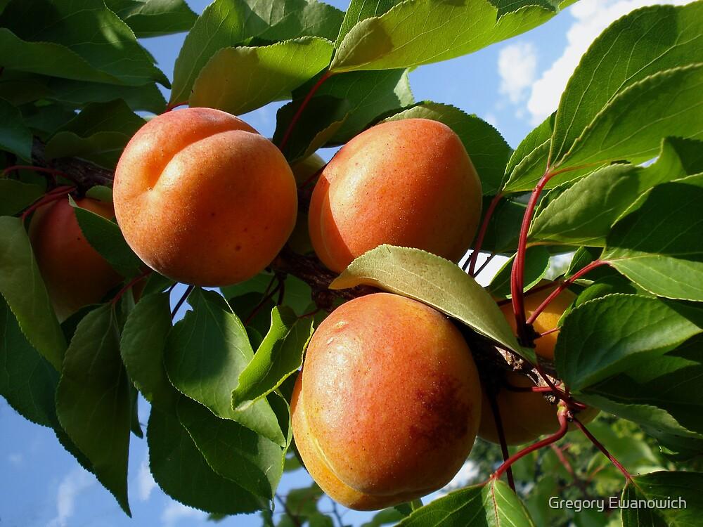 Apricots by Gregory Ewanowich