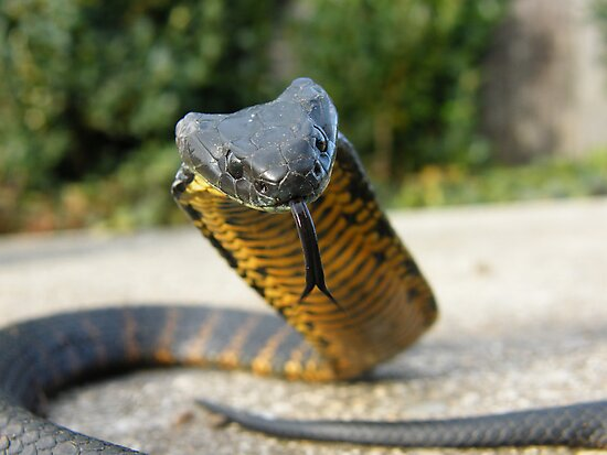 Black and Yellow Kill a Fellow  ( Tiger snake ) by Thow's Photography