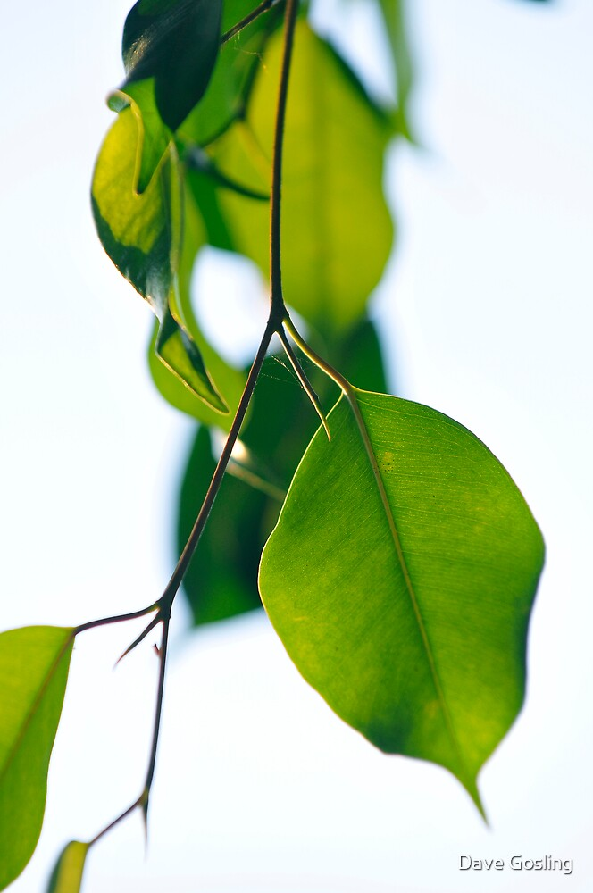 Green leaves by Dave  Gosling Photography