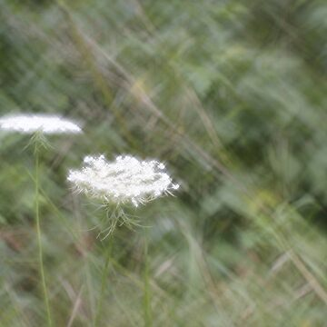 Queen Anne's Lace - Digital Photograph with Lomography Daguerreotype Achromat Art Lens by ztrnorge