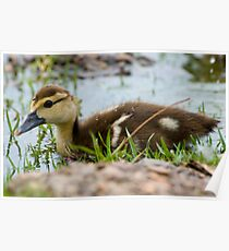 Baby Muscovy  Poster