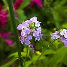 Purple Phlox by Sarah McKoy