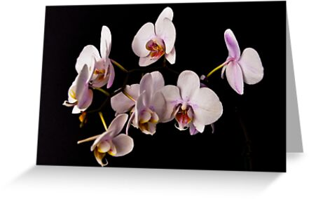 ORCHID 1054 (GREETING CARD) by Thomas Barker-Detwiler