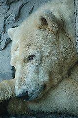 Polar Bear by cml16744