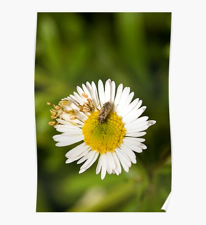 Bug on Flower Poster