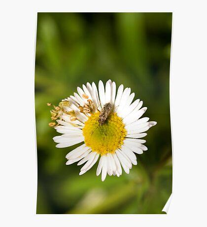 Bug on Flower Poster