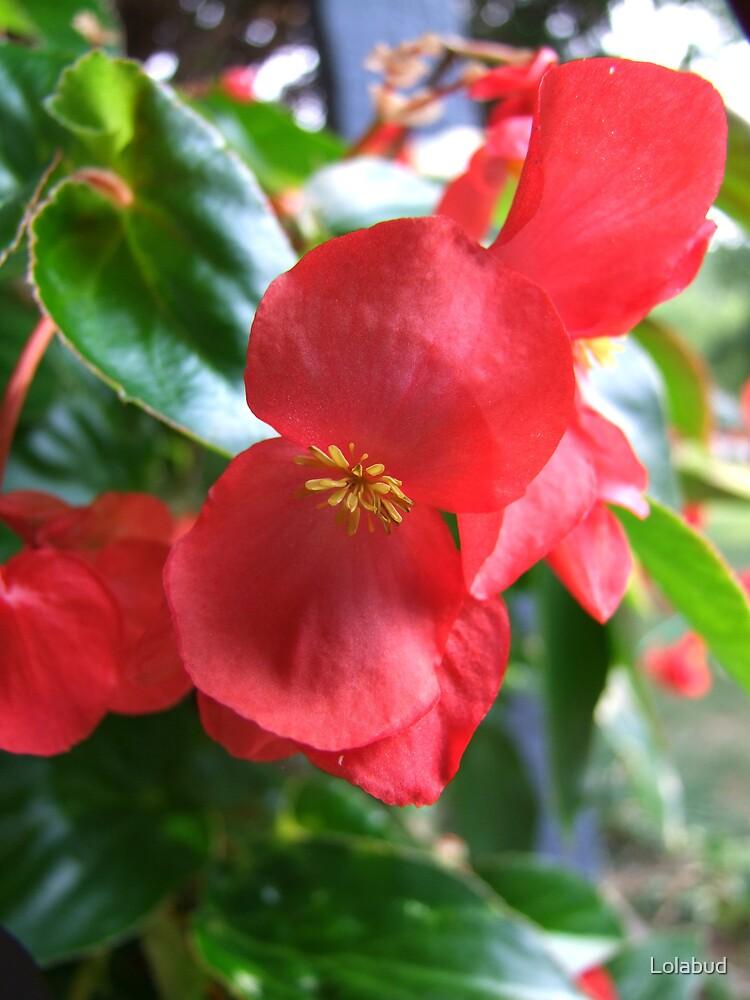 Begonia by Lolabud