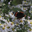 Butterfly at rest. Silent beauty by Wildplant-guide