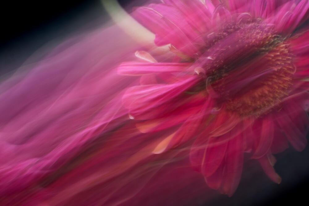 Fleur Blur-Abstract Pink Gerbera Daisy by AhUmDesign