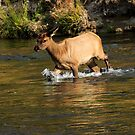 Young Elk Crosssing in Yellowstone by bengraham