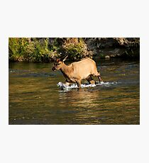 Young Elk Crosssing in Yellowstone Photographic Print