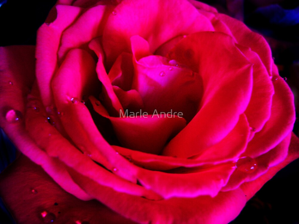 the rose IV by Marle Andre