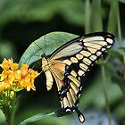 Giant Swallowtail _ Papilio thaos by Poete100