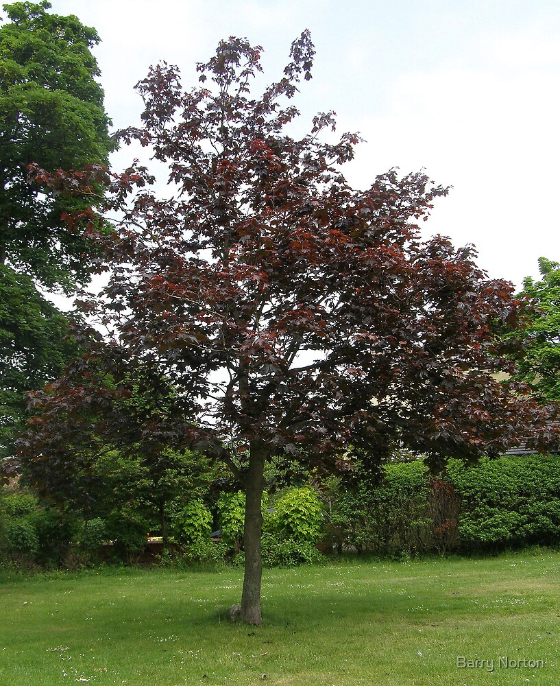 Uncommon Red Sycamore by Barry Norton
