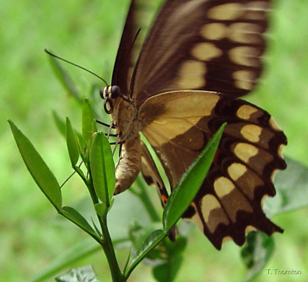 butterfly by T. Thornton