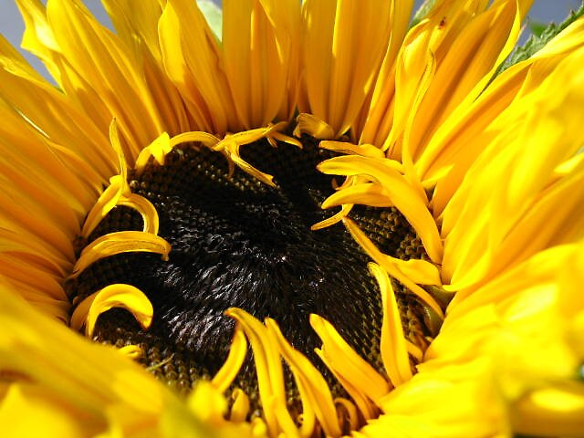 super-sized sunflower by Maureen Brittain