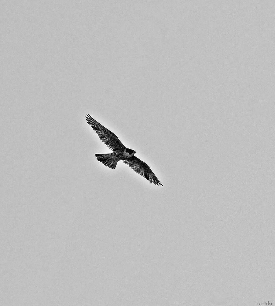 Female Peregrine Falcon Soaring {B&W] by raptrlvr