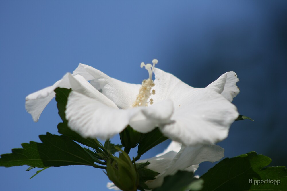 white morning beauty ll by flipperflopp