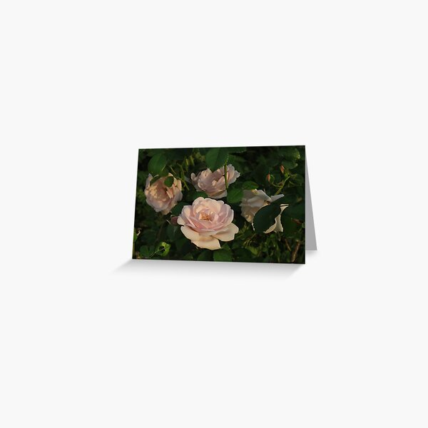 Old Fashioned Pink Teacup Roses Greeting Card