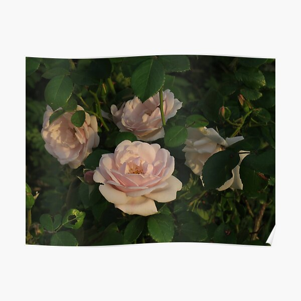 Old Fashioned Pink Teacup Roses Poster