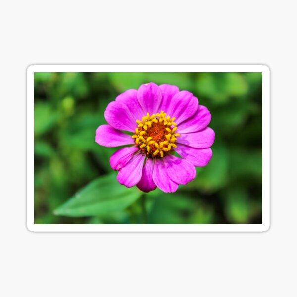 Pink Zinnia Sticker
