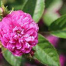 Pink rose by Southern  Departure
