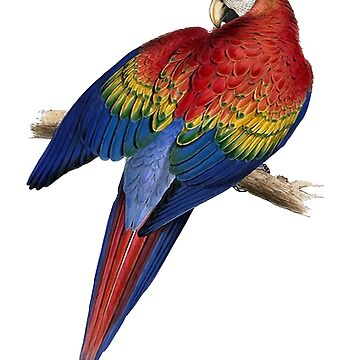 Illustration of A Scarlet Macaw Vector by taiche