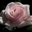 Pale Pink Rose by AnnDixon