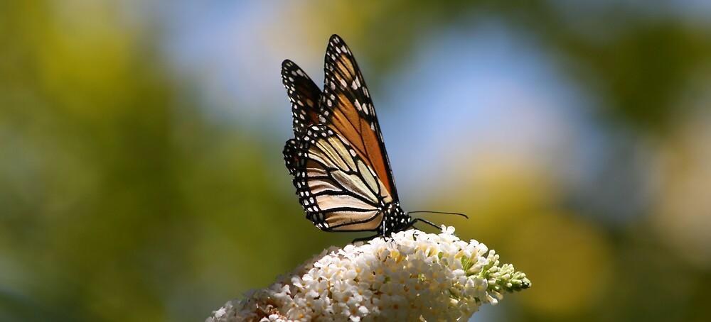 Butterfly by Jason Scott