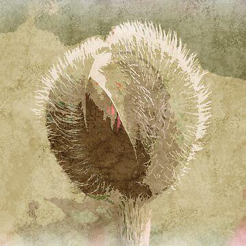 Poppy Head by jolanta