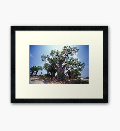 Baine's Baobabs Framed Print