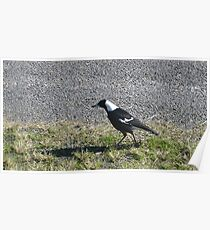Myall Magpie Poster