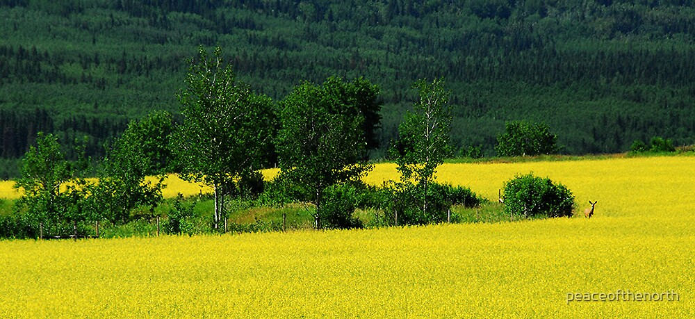 Canola  by peaceofthenorth