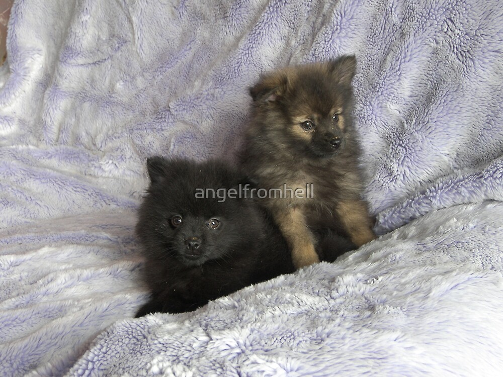 pomeranian pups by angelfromhell