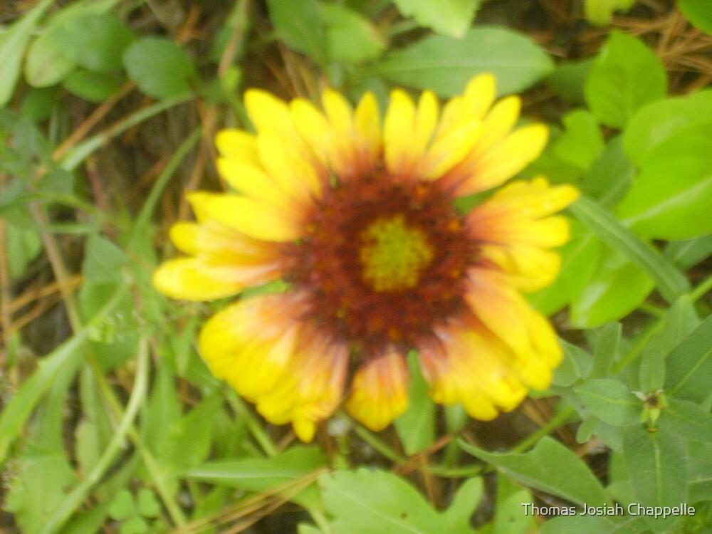 Gerber Daisy by Thomas Josiah Chappelle