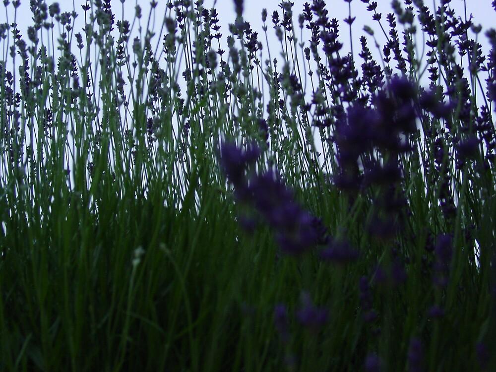 Lavender ii by Richard Elston
