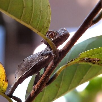 Spearpoint Leaf Tailed Gecko by LeaGerard
