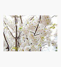 Sakura blossom Photographic Print
